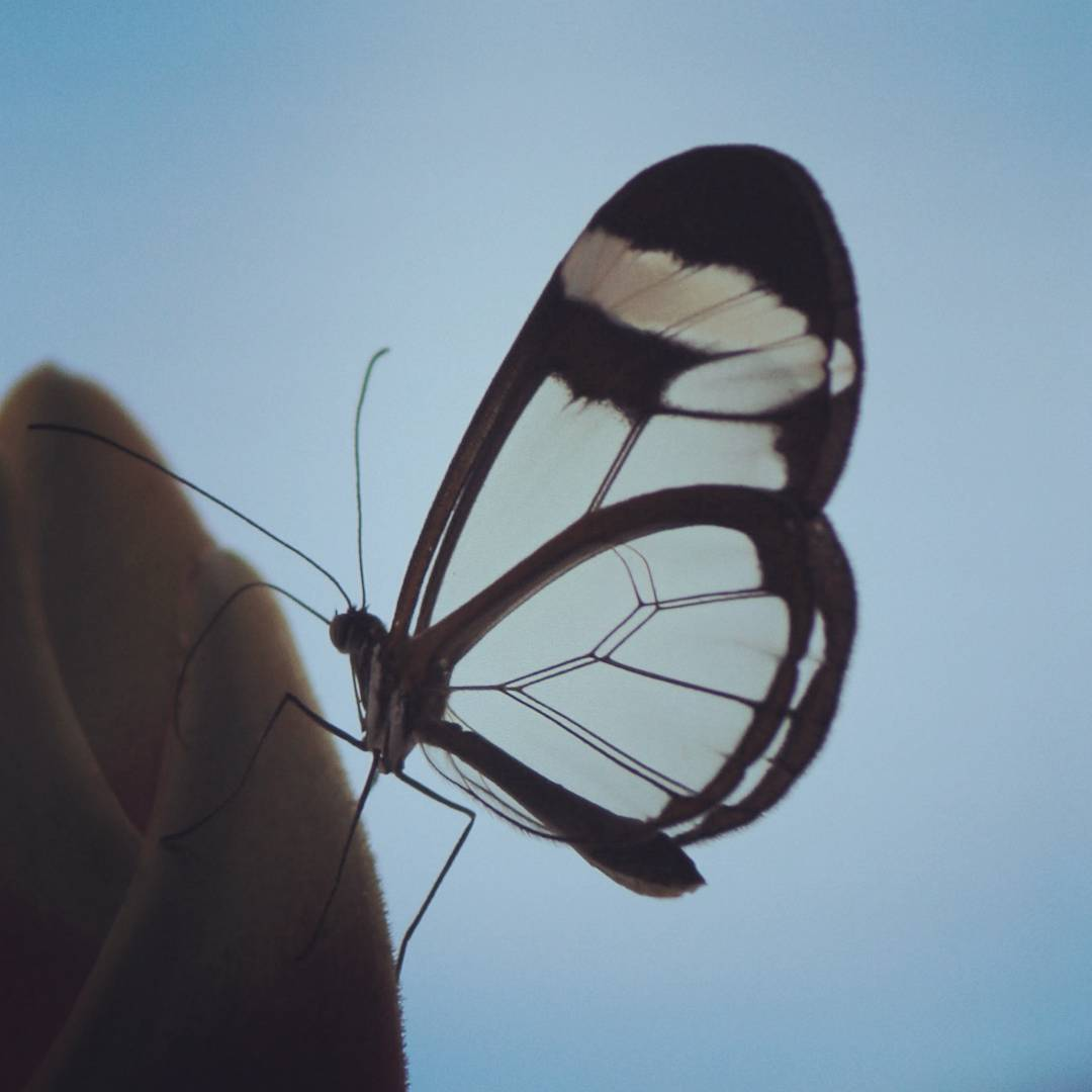 A butterfly with transparent wings